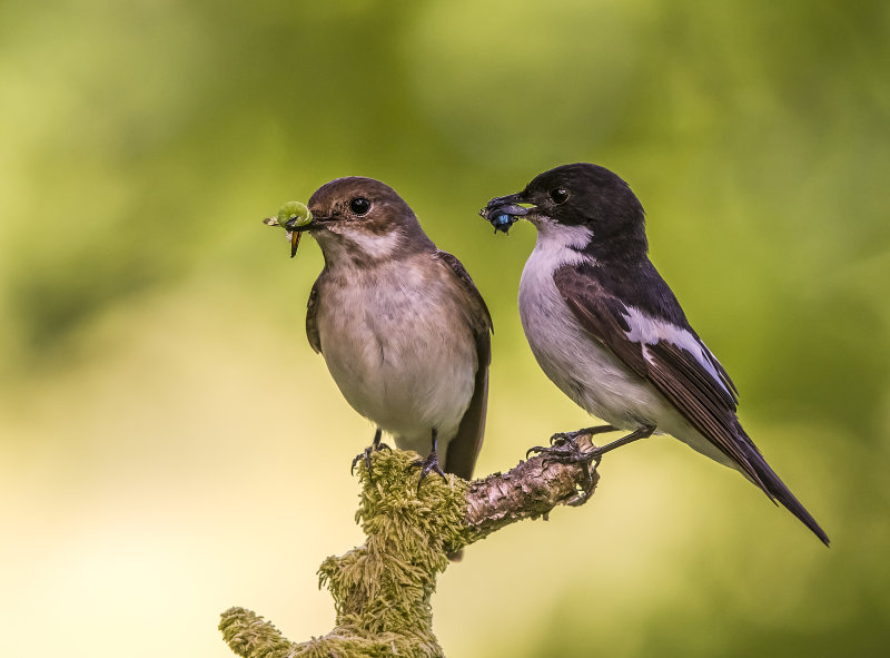 Pied-Flycatchers