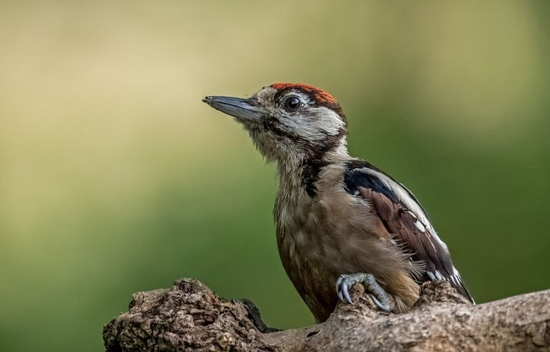 Great-spotted-Woodpecker (m)