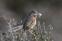 Dartford-warbler-female
