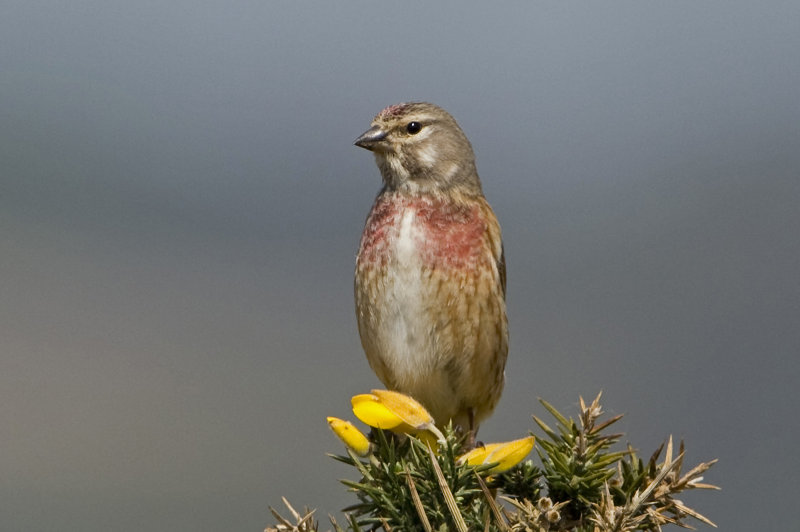 Linnet-male