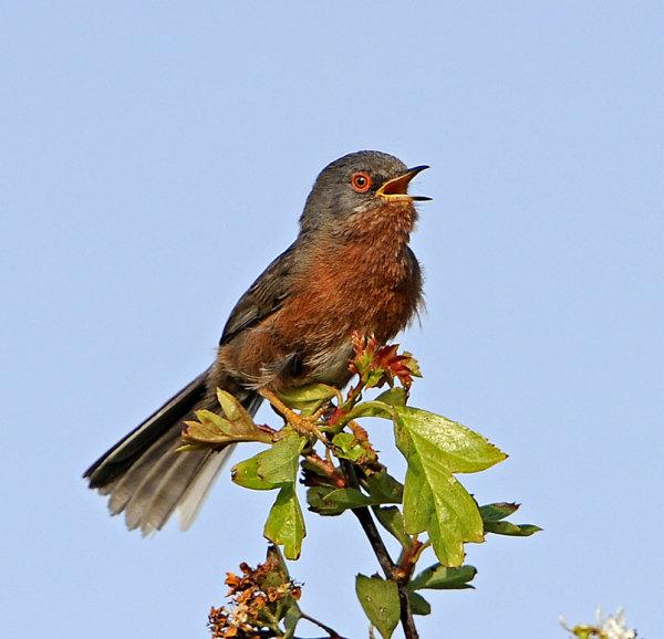 Male-Dartford-Warbler