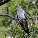 Male-Cuckoo