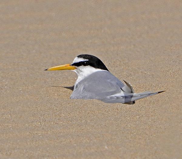 Little-Tern