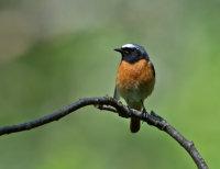 Redstart-male