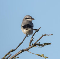 Great-Grey-Shrike