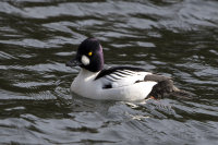 Male-Goldeneye
