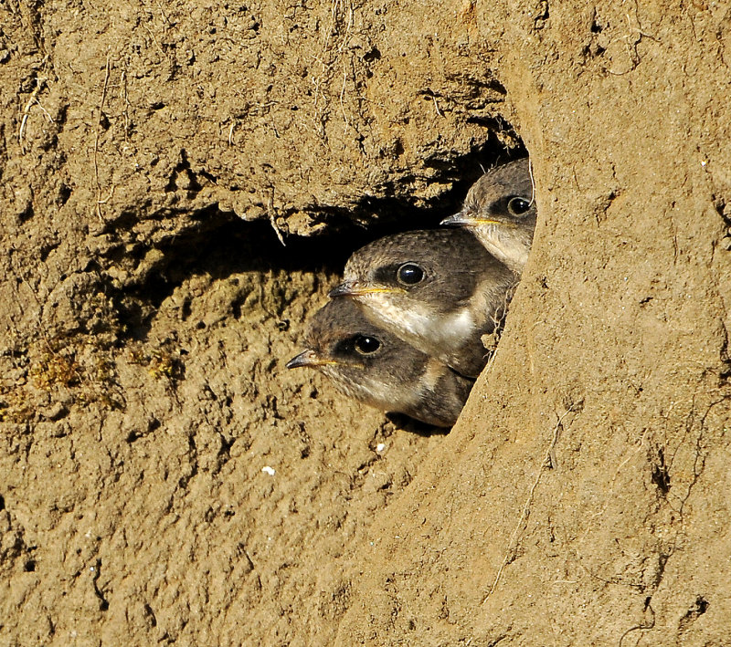 Sand Martin-chicks