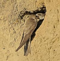 Sand-Martins