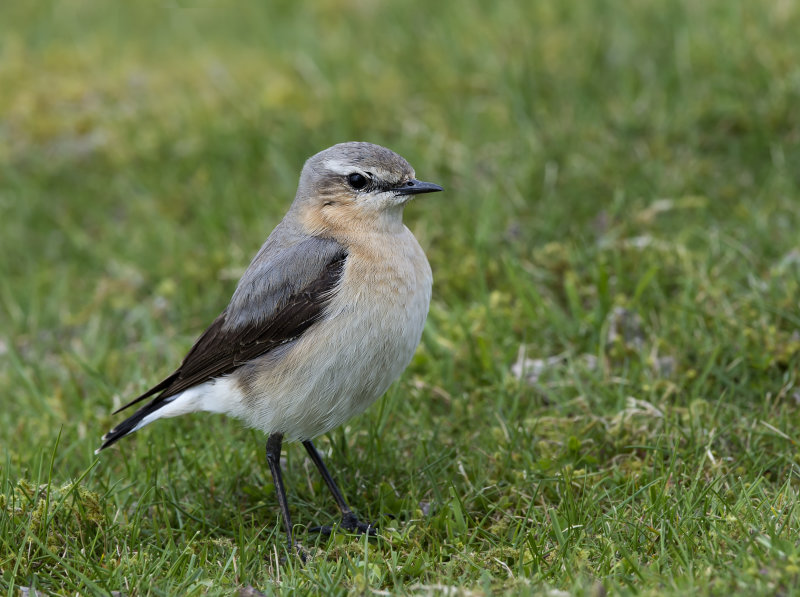 Wheatear-female