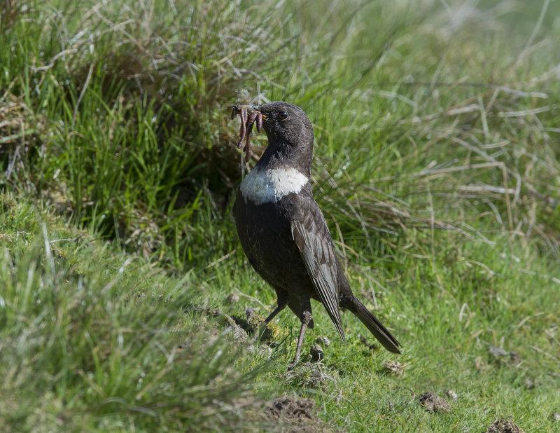 Ring-Ouzel-female