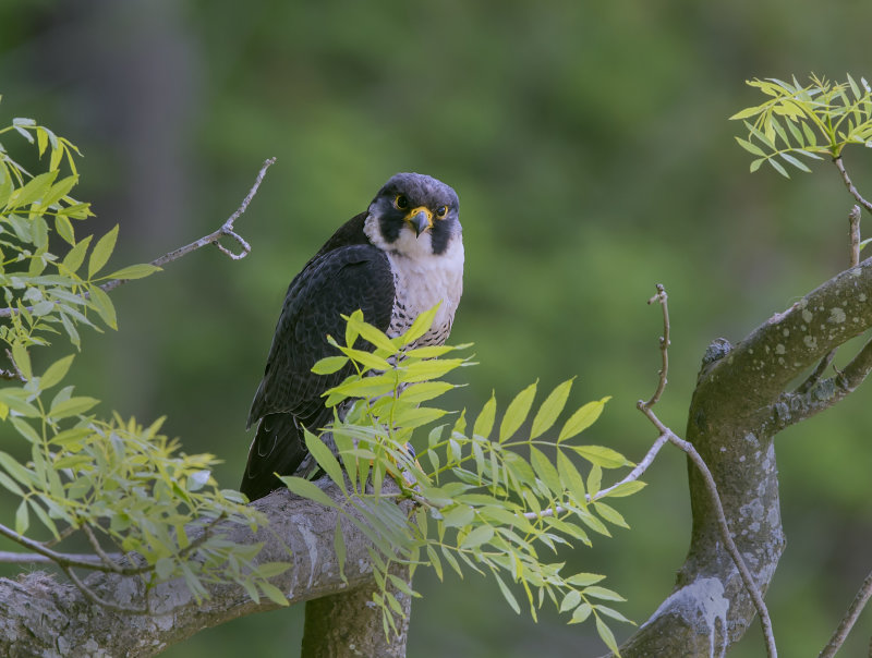Peregrine-falcon-male