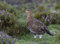 Red-Grouse-female