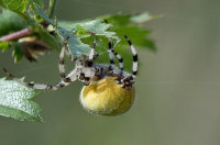 Four-Spot-Orb-Spider-female