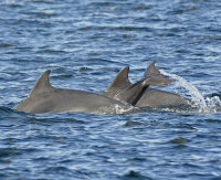 Dolphins-with young