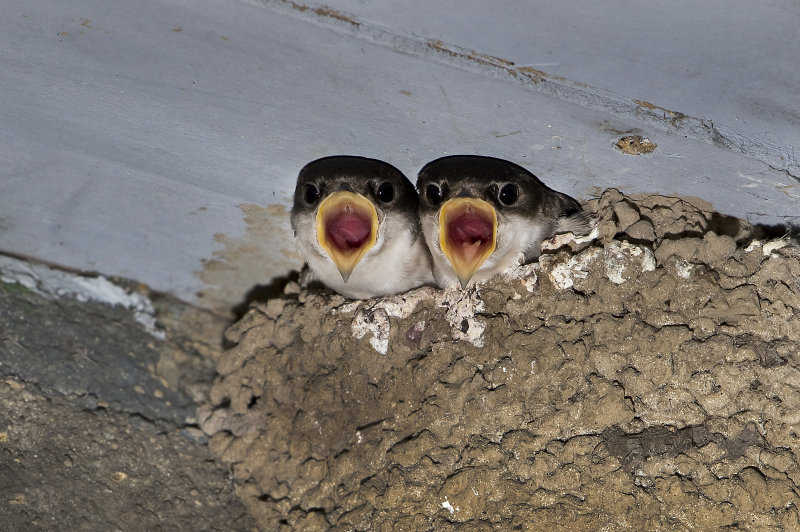 House-Martin-chicks