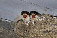 House-Martin-chicks