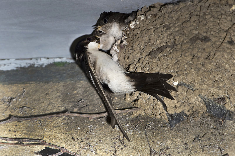 House-Martins