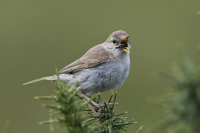 Booted-Warbler