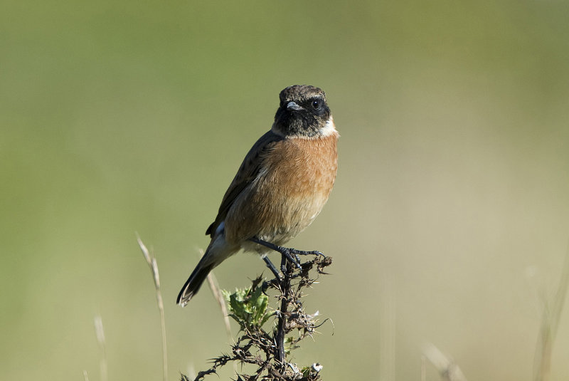 Stonechat-male