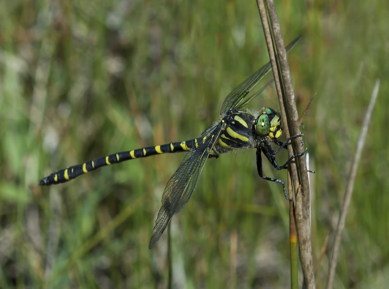 Golden-ringed-Dragonfly-male