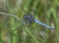 Keeled-Skimmer-male
