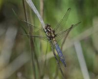 Keeled-Skimmer-male(im)