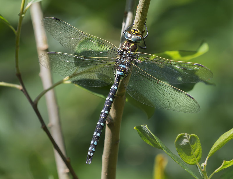 Common-Hawker-male