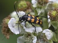 Long-horned-Beetle