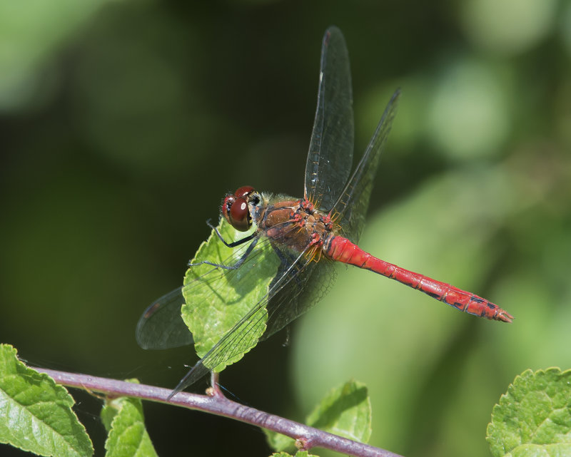 Ruddy-Darter-male