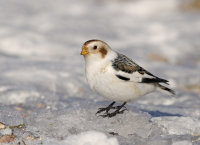 Snow-Bunting-male