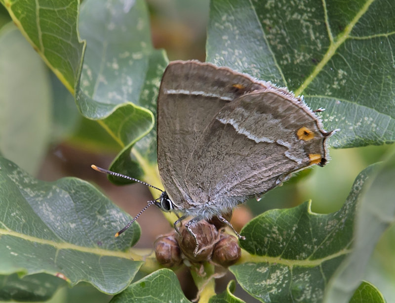 Purple-Hairstreak