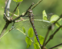 Migrant-Hawker-female