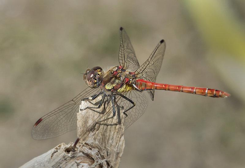 Common-Darter-male