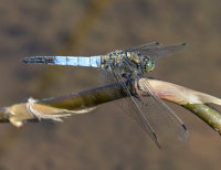 Black-tailed-Skimmer-male
