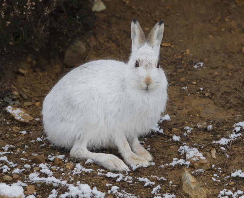 Mountain-Hare