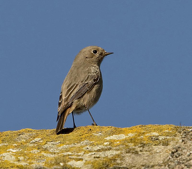 Female-Black-Redstart