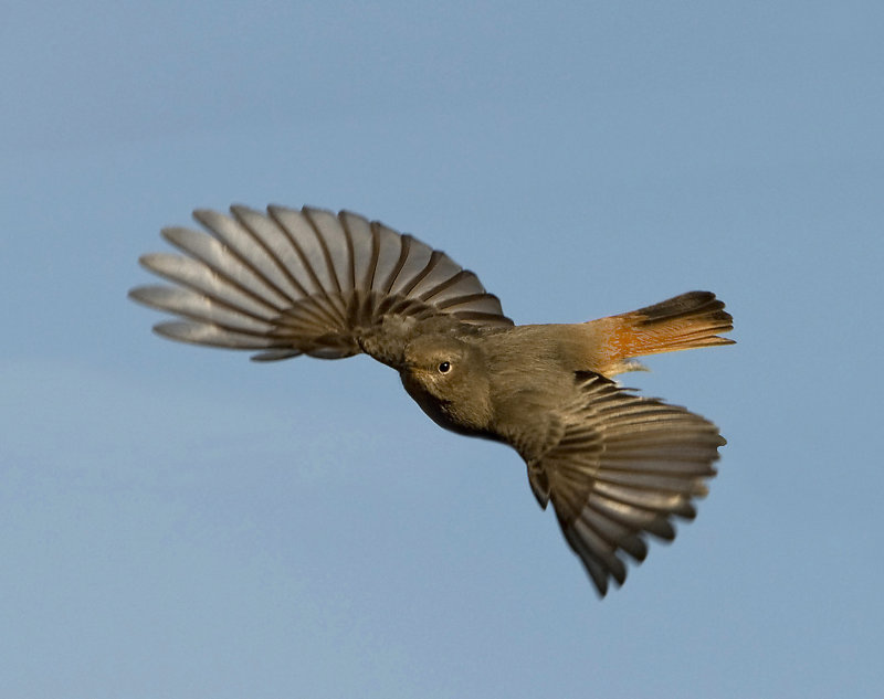 Female-Black-Redstart