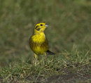 Male-Yellowhammer
