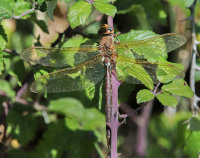 Brown-Hawker-female