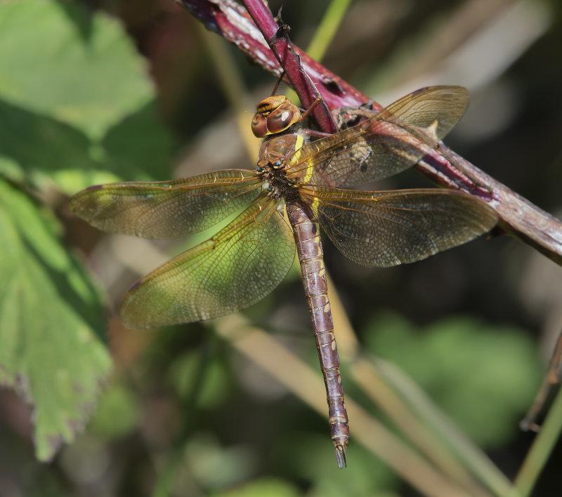 Brown-Hawker-male