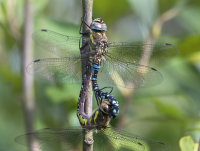 Migrant-Hawkers