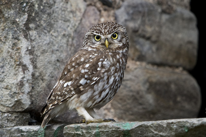 Little-Owl