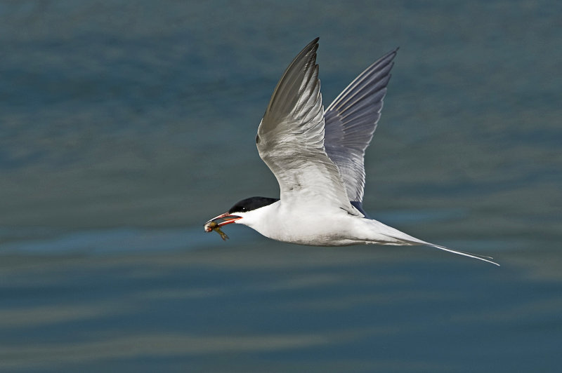Common-Tern