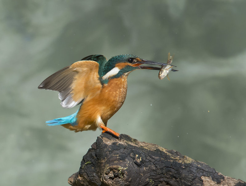 Kingfisher-male