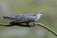 Cuckoo-male