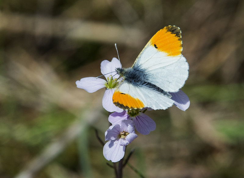 Orange-tip-male