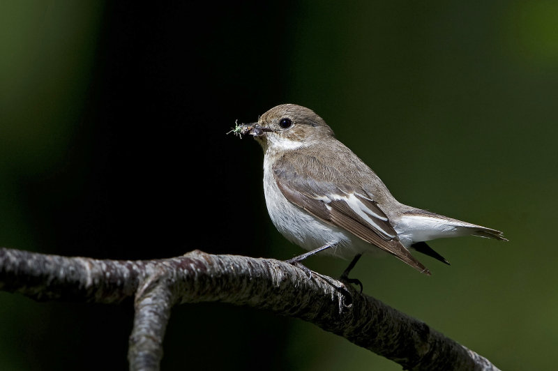 Female-Pied-Flycatcher
