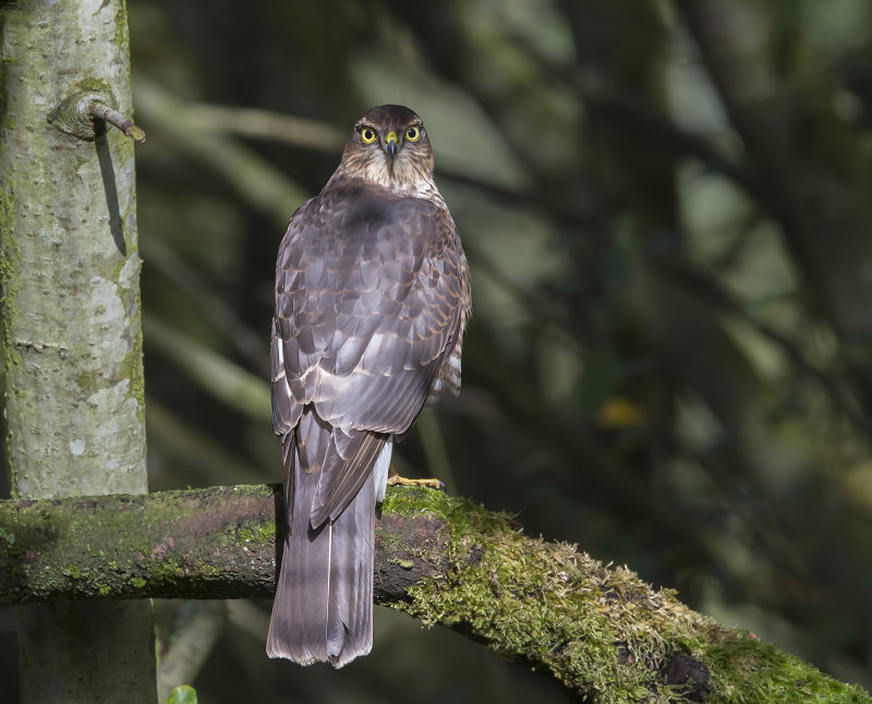 Sparrowhawk-female