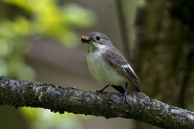 Female-Pied-Flycatcher