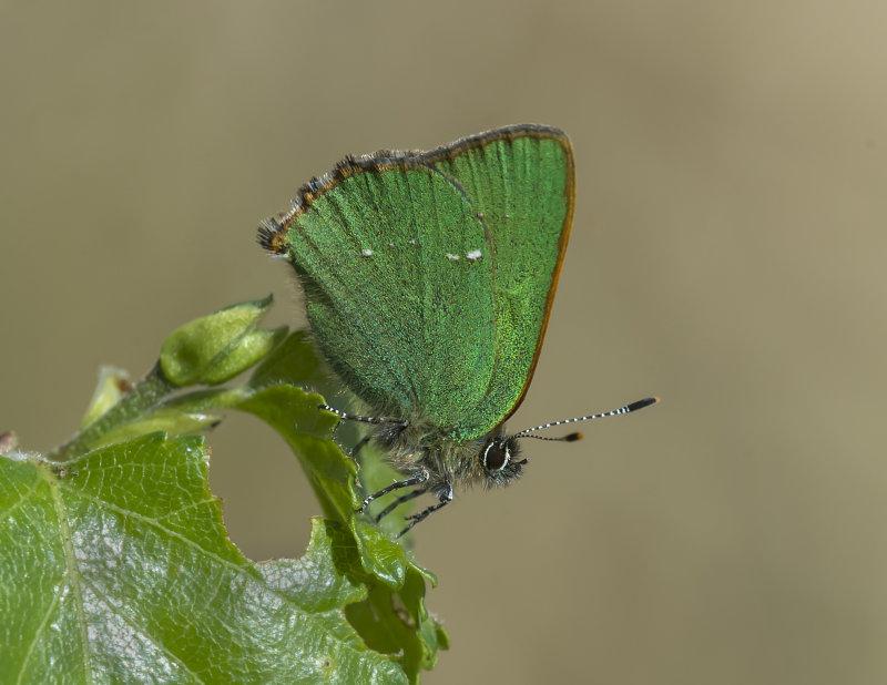 Green-Hairstreak